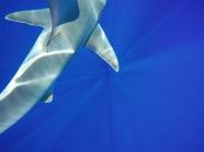 Sandbar Shark | Haleiwa, HI..