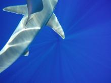Sandbar Shark   Haleiwa, HI..
