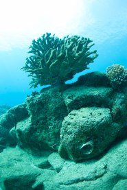 antler coral